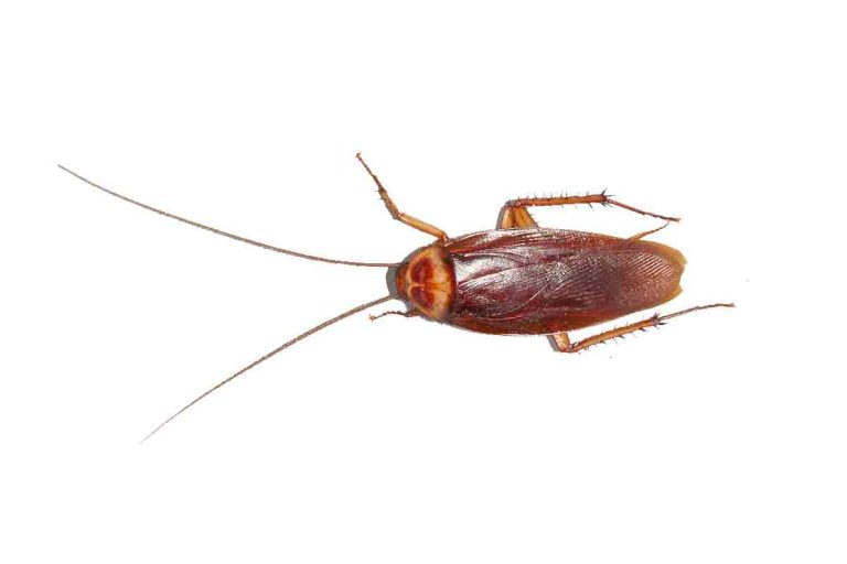 do american cockroach bite