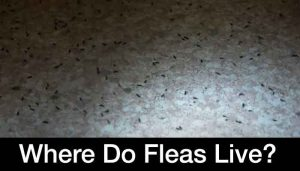 where do fleas live