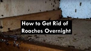 how to get rid of roaches overnight home remedies