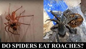 do spiders eat roaches