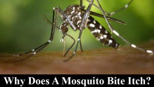why does a mosquito bite itch