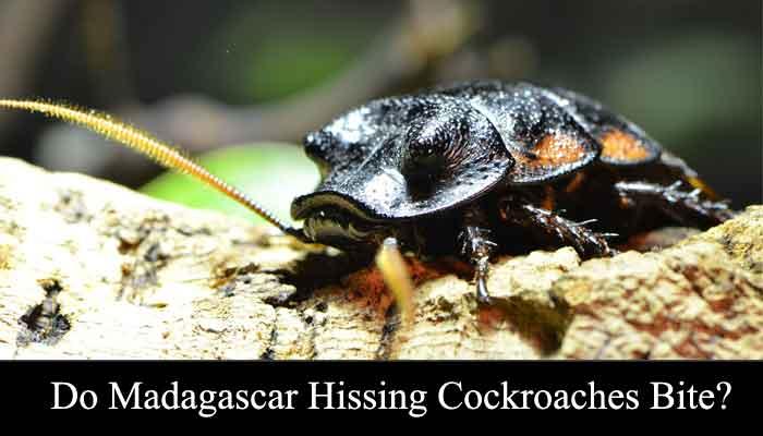 do madagascar hissing cockroaches bite